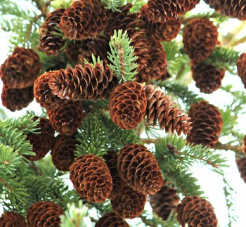 Spruce tree with pine cones